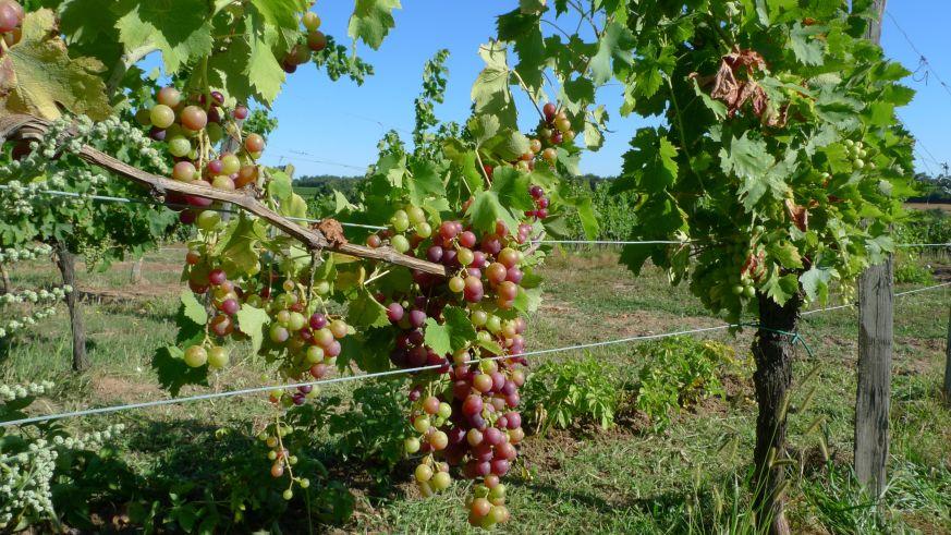 Weinbau in Bordeaux