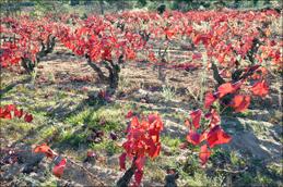 So leuchtend rot verfärbt im Spätherbst nur eine Rebe: die Garnacha Tintorera.