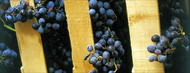 Diese noch frischen Trauben werden nach einigen Monaten Trocknung zu Rosinen geschrumpft sein und dann zu Amarone gekeltert.