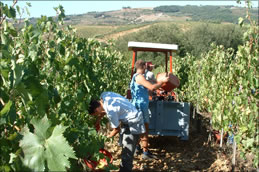 Herbstidylle in der Toskana: Auf Badia a Coltibuono wird auf Bio-Weinbau und Handlese gesetzt.