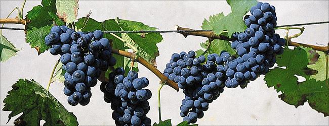 Würde die berühmteste Weinsorte der Welt gekürt, dann hätte die Cabernet Sauvignon wohl die grössten Chancen auf diesen Titel.