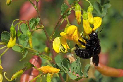 Der Gelbe Blasenstrauch ist Bestandteil einer artenreichen Begrünung und lockt Bienen und Hummeln an.