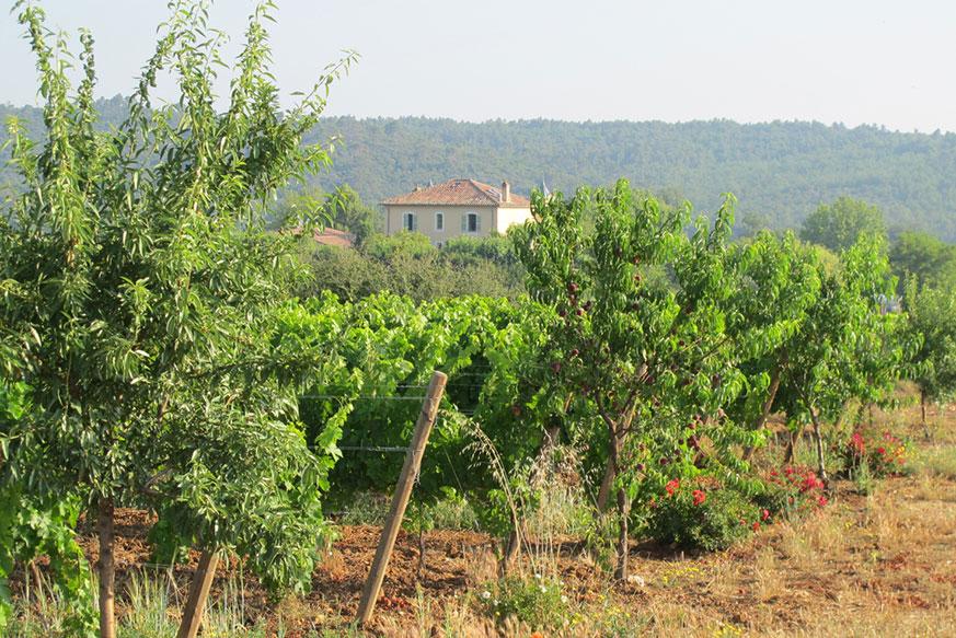 Forschung ist ein wichtiger Bestandteil der Arbeit auf Château Duvivier – Sekundärkulturen wie Weinbergpfirsiche steigern die Biodiversität und liefern schmackhafte Früchte, während Rosen die Rebzikade in Schach halten.
