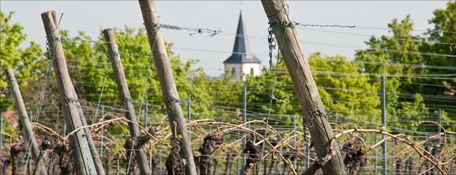 Die Weinberge des traditionsreichen Hirschhof grenzen unmittelbar ans Dorf Westhofen.