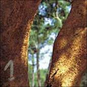 Die Korkeiche ist ein faszinierender Baum. Der Schutz von Kork ist offenbar mehr noch gegen Feuer ausgelegt als gegen Frost.