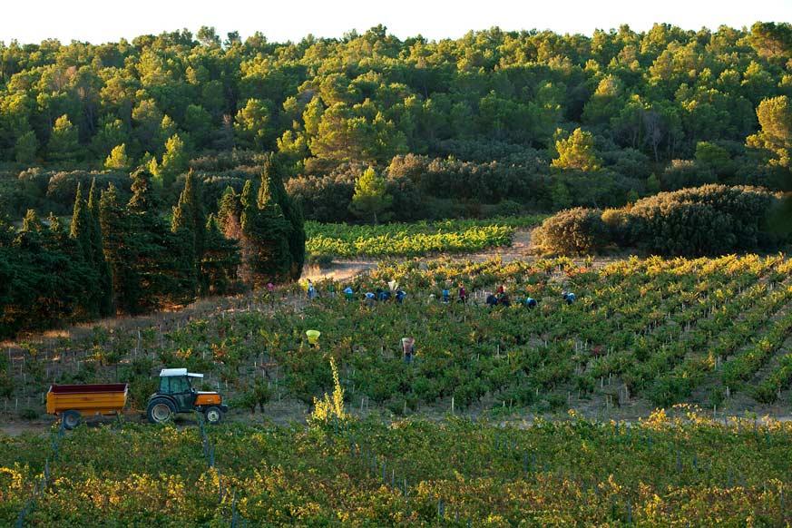Erntezeit bei Familie Lignères: Fleissige Erntehelfer lesen alle Trauben von Hand.