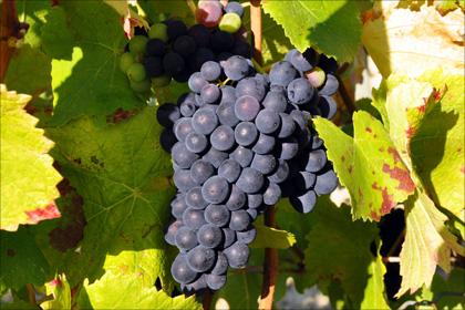 Der Tannenzapfen (pomme de pin) gab der Pinot-Noir ihren Namen.
