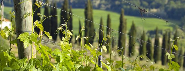 Frühlingserwachen auf dem Weingut Vignano in der Toskana.