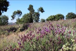 Wilder Lavendel und Steineichen säumen die Weinberge von Volvoreta.