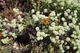 Wilder Thymian lockt einen Schmetterling an.