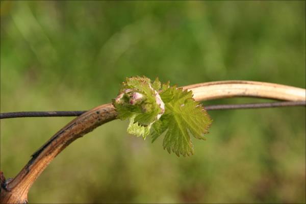 Frühling im Weinberg