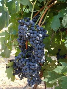Nero d'Avola: Wein aus Sizilien