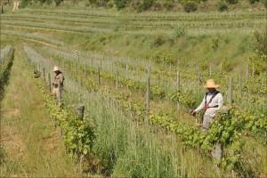 Arbeiter im Weinberg
