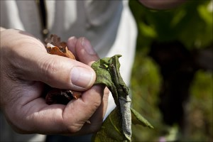 Der Cigarrenfabrikant im Weinberg