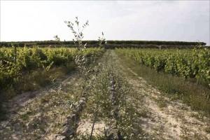 Oliven im Weinberg