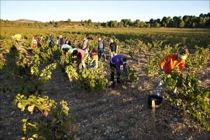 Weinernte in Südfrankreich