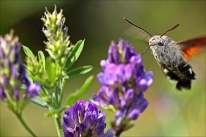 Luzerne mit Schmetterling