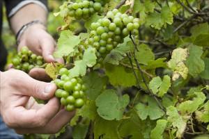 Graupert - Weingut Meinklang