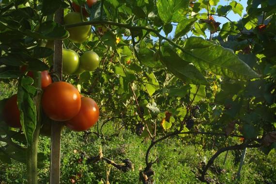 Neben Heidelbeeren werden auf dem Delinat-Institut bereits andere Sekundärkulturen wie z.B. Tomaten und Kürbisse angebaut.