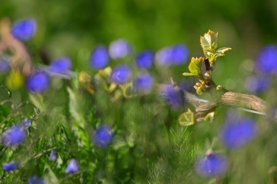 Gemeiner Lein oder Flachs: «Ich arbeite gerne mit unscharfem Hintergrund. Inmitten der verschwommen leuchtenden Flachsblumen kommt die spriessende Rebe besonders schön zur Geltung.»