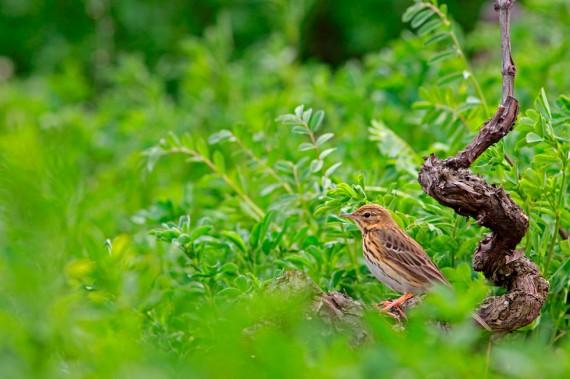 Rebstock mit Baumpieper: «Dieses Bild hat mir viel Geduld abverlangt. Ständig auf der Suche nach Nahrung in der üppigen Vegetation des Rebbergs, war der Baumpieper nur einen kurzen Moment unverdeckt sichtbar.»