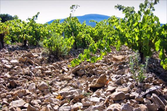 Am Fuss des Montagne d' Alaric (im Hintergrund) reifen edle Gewächse in steinigen Böden.