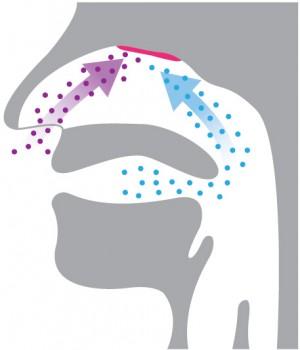 Duft nennen wir Eindrücke, die das olfaktorische Zentrum (rot) durch die Nase (orthonasal) erreichen (violett). Aromen gelangen retronasal via Gaumen (blau) zur Riechschleimhaut.