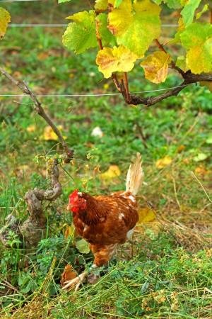 Huhn im Weinberg