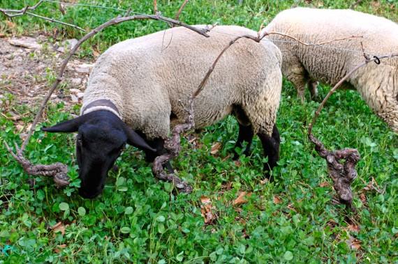 Schafe weiden im Weinberg