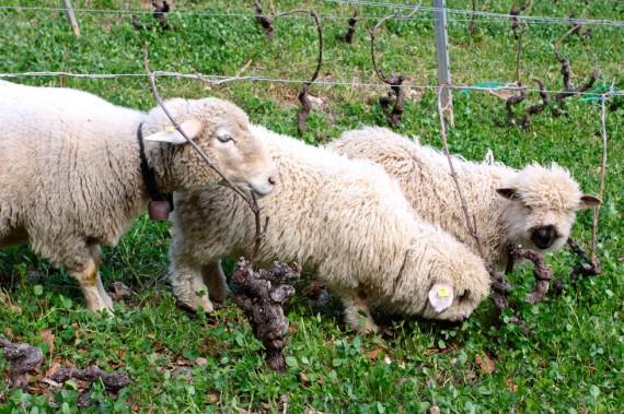 Schafe im Weinberg
