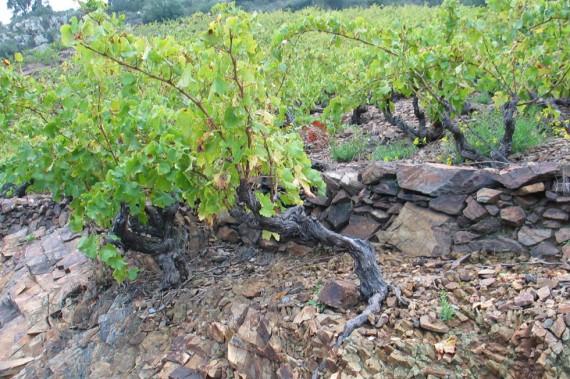Auf Schiefer gedeihen leichte, elegante und rassige Weine.