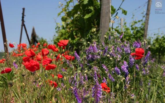 So schön ist Biodiversität: Klatschmohn auf dem Weingut Pflüger in der Pfalz