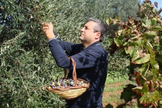 Massimo Maggio bei der Olivenernte