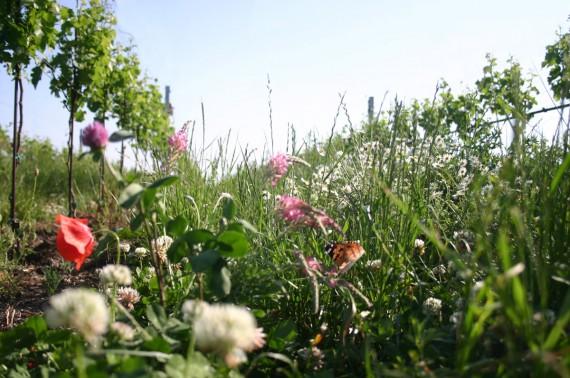 Bäume, Sträucher, Blumen und Kräuter bieten Lebensraum für eine vielfältige Fauna und Flora in den Meinklang-Weinbergen