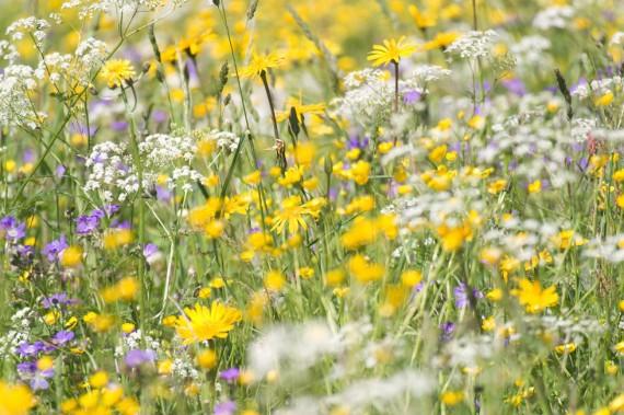 Wiese mit hoher Biodiversität
