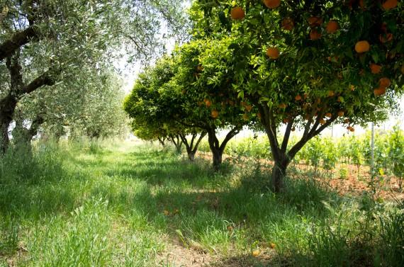 Üppige Biodiversität auch im Süden: Neben dem Wein wachsen Oliven, Orangen und vieles mehr bei Massimo Maggio auf Sizilien.