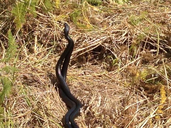 Zwei Zornnattern beim Paarungsritual . Die zwei Schlangen liessen sich durch unsere Anwesenheit nicht erschrecken – Sehr eindrücklich !