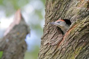 Ein Specht geniesst von seiner Baumhöhle aus die schöne Aussicht auf den blühenden Mohn unter den Reben