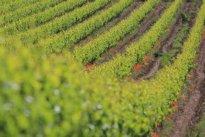 Klatschmohn und Reben wachsen auf dem Weingut Osoti direkt nebeneinander.