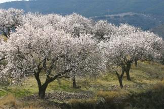 Blühende Mandelbäume sorgen für Abwechslung und Artenreichtum in den Weinbergen von Francisco Ruiz