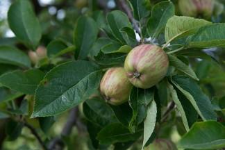 Apfelbäume auf Château Duvivier.
