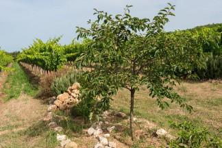 Inseln mit Kräuterbüschen und Fruchtbäumen bilden ökologische Hotspots mitten im Weinberg.