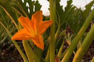 Zur natürlichen Vielfalt tragen auch Zucchettiblüten bei.
