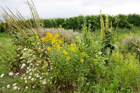 Solche Pflanzeninseln mit Königskerzen, Wicken, Minzen, wilden Möhren und vielen anderen Pflanzen sorgen für eine bunte Vielfalt in den Meinklang-Weingärten.