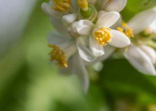 Die Zitronenblüten ergeben einen zartduftenden Honig.