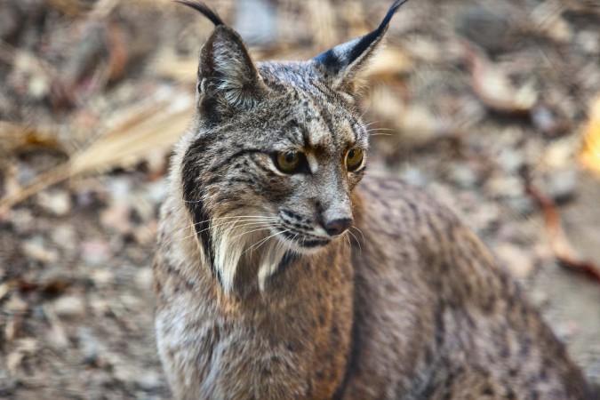 Der Iberische Luchs lebt in den Korkeichenwäldern und ist die bedrohteste Katzenart weltweit.