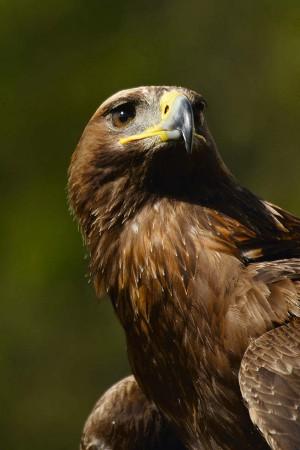 Auch der selten gewordene Steinadler findet in den extensiven Korkeichenwäldern Unterschlupf und Nahrung.