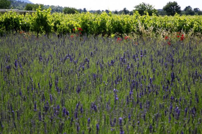Blühender lavendel vor Weinberg