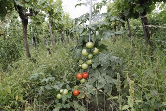 Aromatische Tomaten im Weinberg von Andreas Harm in der Wachau.
