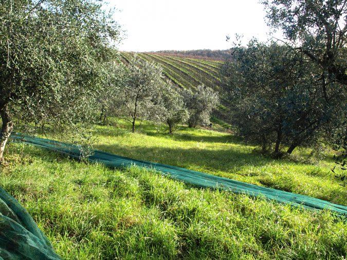 Netze zur Ernte werden unter Olivenbäume gelegt
